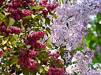 Lilac_31